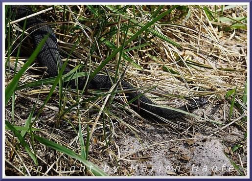 Schwarze Farbvariante der Kreuzotter (Vipera berus).