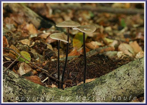 Der elegante Saitenstielige Knoblauchschwindling (Marasmius alliaceus) ist ein sehr häufiger Pilz auf dem Totholz im Darßwald.