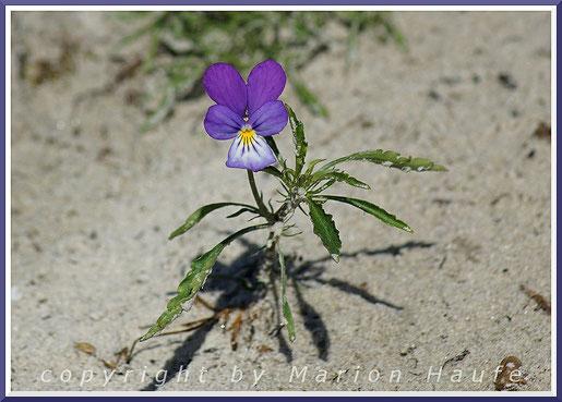 Gewöhnlicher Strandhafer (Ammophila arenaria) auf den Weißdünen am Weststrand.