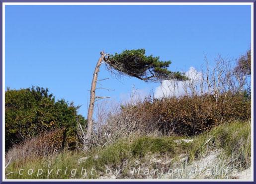 Windflüchter am Darßer Ort am Übergang zum Weststrand.