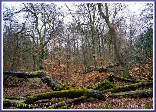 Totholz ist im Darßwald eine Selbstverständlichkeit.