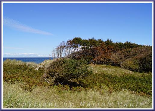 Windflüchter am Weststrand.