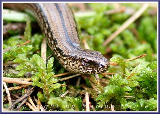 Sieht aus wie eine Schlange, ist aber keine - die Blindschleiche (Anguis fragilis).
