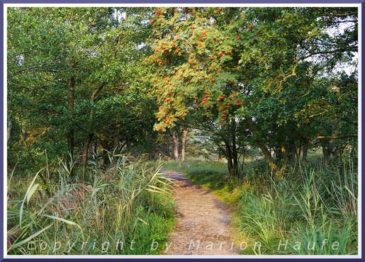 Hier und da leuchten die Beeren der Eberesche am herbstlichen Rundwanderweg.