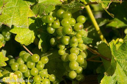 Wein im Anbaugebiet Marlborough