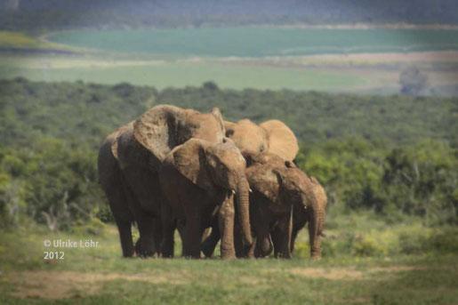 Elefanten im Addo NP