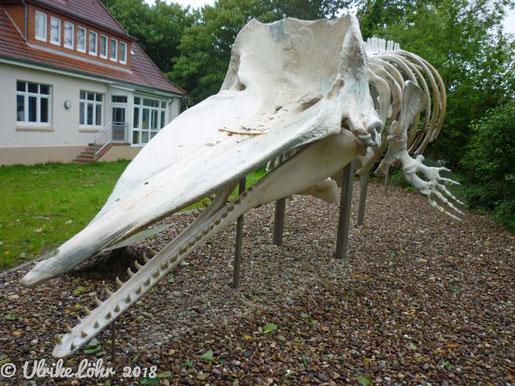 Wal Skelett vor dem Nationalpark-Haus Wangerooge