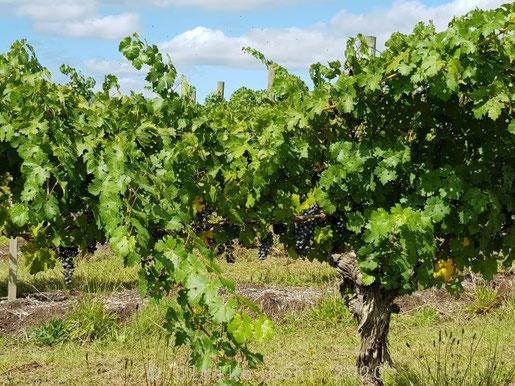 Wein im Yarra Valley, Victoria