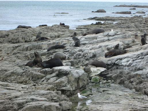 Seelöwen Kolonie in Kaikoura - Foto Isis alias Paula Parkvogel