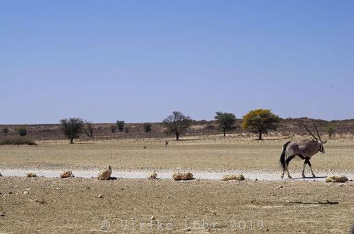 Oryx im Kgalagadi Transfrontier Nationalpark