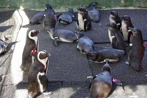 Pinguine in der Krankenstation