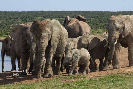 Elefanten im Addo Elephant National Park an der Hapoor Wasserstelle