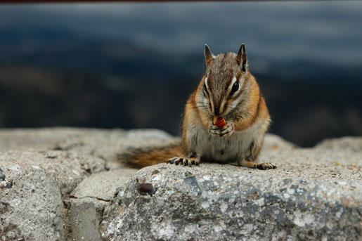 Wildlife Wyoming, Chipmunk, Animals in the National Parks USA