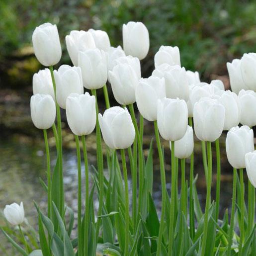 Tulpen dürfen in einem weißen Garten nicht fehlen. Reinweiß und spät blüht die 'Maureen' - sie bildet einen schönen Übergang vom Frühlingsbeet zur bevorstehenden Sommerblüte der Stauden