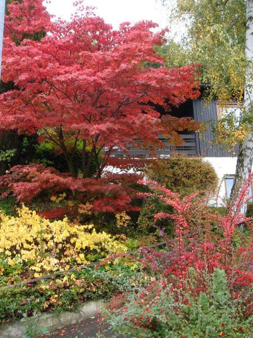 Grofle und kleine Laubgehölze geben mit ihrer farbstarken Rot- und Gelbfärbung dem Herbstgarten seinen besonderen Reiz.