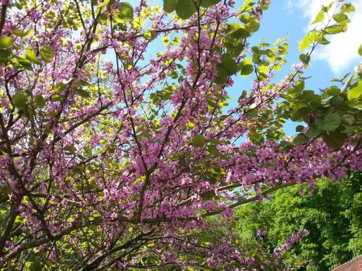Der Judasbaum stammt au dem mediterranen Raum und verträgt Hitze und Trockenheit