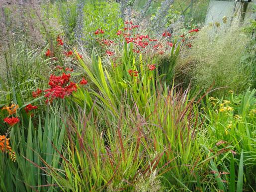 Das Japanblutgras, Imperata cylindica, besticht durch seine feurige Farbe