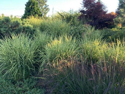 Gräser spielen mit Licht, Wind und Witterung und schaffen so ganz besondere Stimmungen im Garten. Foto: elegrass