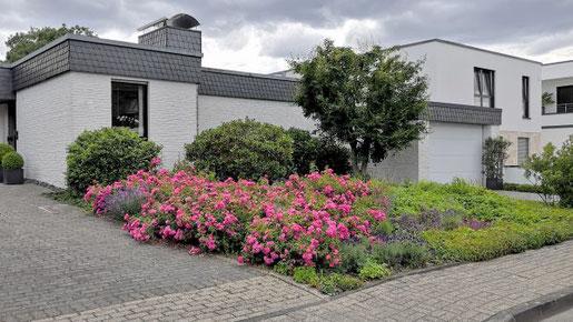 Wer sich eine groflächige Bepflanzung mit Rosen wünscht, sollte auf Bodendeckerrosen zurückgreifen: Sie breiten sich großzügig aus, wachsen dicht und lassen unerwünschten Wildkräutern keinen Platz. Foto: BGL