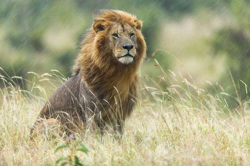 le lion est mort ce soir cycle 2