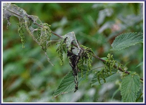 Junge Raupen des Tagpfauenauges an einer Brennessel
