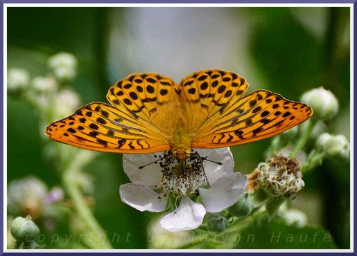 Männlicher Kaisermantel (Argynnis paphia)