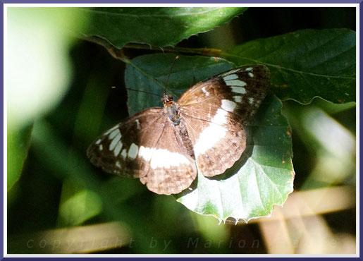 Kleiner Eisvogel (Limenitis camilla)