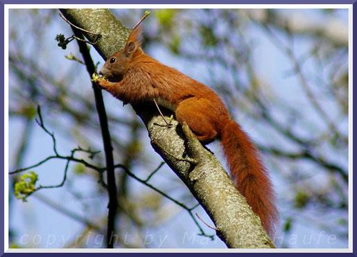 Ein Eichhörnchen nascht an den frischen Blüten des Ahorns, April 2019, Land Brandenburg