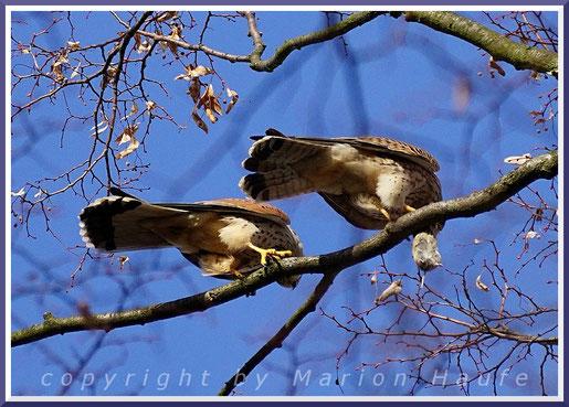 Beuteübergabe bei Familie Turmfalke (Falco tinnunculus), 04.03.2020, Berlin.