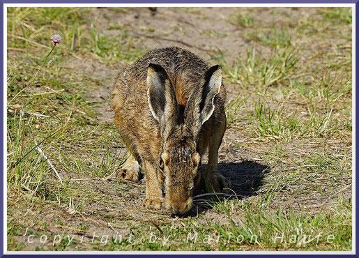 Ein Feldhase (Lepus europaeus) folgt einer Duftspur, Lobbe/Mecklenburg-Vorpommern.