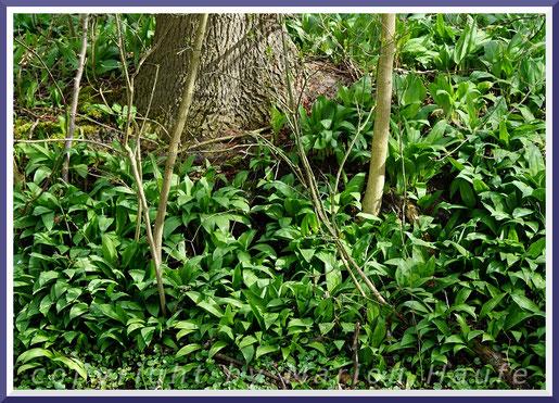Bärlauch (Allium ursinum), April 2019, Land Brandenburg