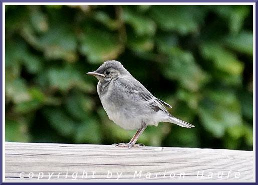 Bachstelze (Motacilla alba) Jungvogel, 04.06.2020, Lobbe/Mecklenburg-Vorpommern