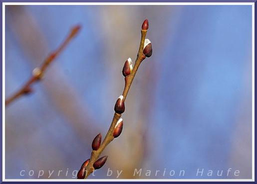 Trieb der männlichen Sal-Weide (Salix caprea) Ende Januar.