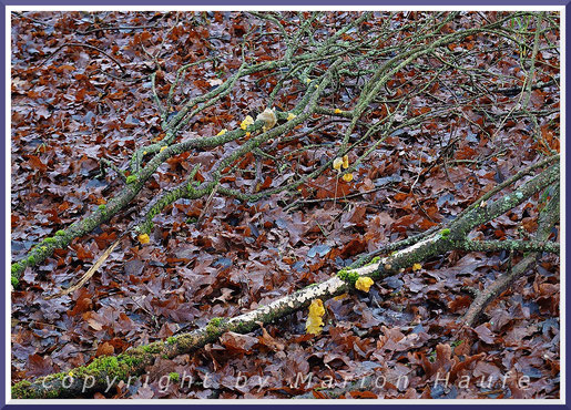 Goldgelbe Zitterlinge (Tremella mesenterica) auf herabgefallenem Totholz am Hahneberg