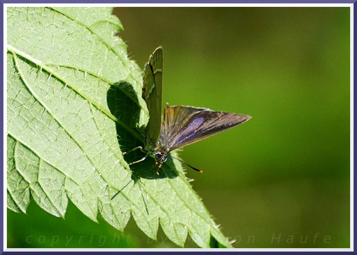 Blauer Eichen-Zipfelfalter (Favonius quercus)