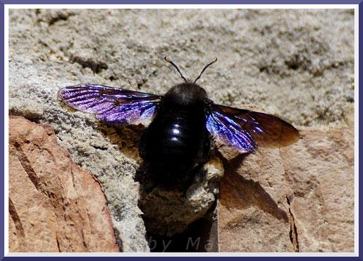 Blaue Holzbiene (Xylocopa violacea), März 2019, Staaken/Berlin