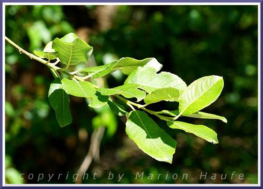 Blätter der Sal-Weide (Salix caprea) im Juni.
