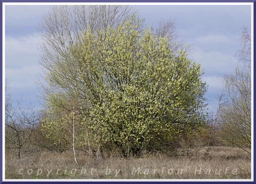 Blühende männliche Sal-Weide (Salix caprea) Ende März.