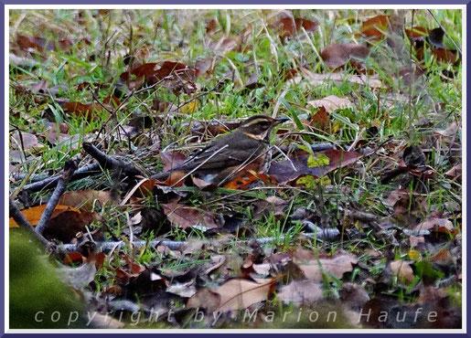 Rotdrossel  (Turdus iliacus), 04.12.2020, Staaken/Berlin