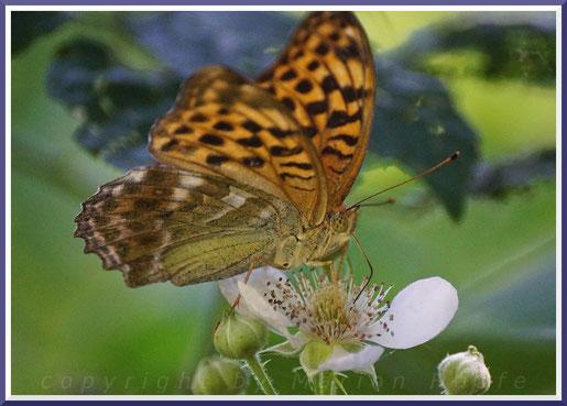 Weiblicher Kaisermantel (Argynnis phaphia)
