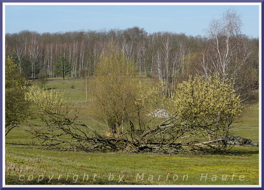 Alte Sal-Weide (Salix caprea) am Spandauer Hahneberg im März.