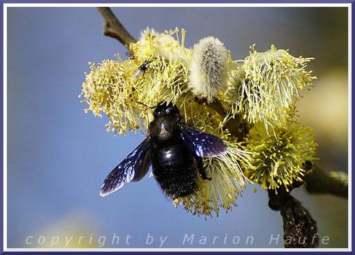 Blaue Holzbiene (Xylocopy violacea) an den Blüten einer männlichen Sal-Weide.