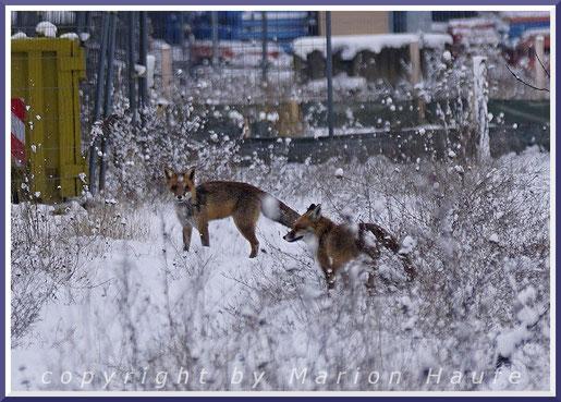 Ranzende Rotfüchse (Vulpes vulpes), Februar 2021, Staaken/Berlin