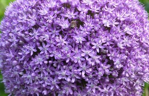 Die kugelrunden Blütenbälle des Allium, die sich aus unzähligen, sternenförmigen Blüten zusammensetzen, kommen sowohl bei Mensch als auch Biene gut an. Bild: fluwel.de