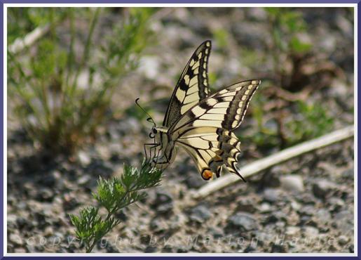 Weiblicher Schwalbenschwanz (Papilio machaon) bei der Eiablage, 24.07.2016, Staaken/Berlin