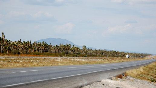 Bild Yucca filifera • MEX © Paul Spracklin
