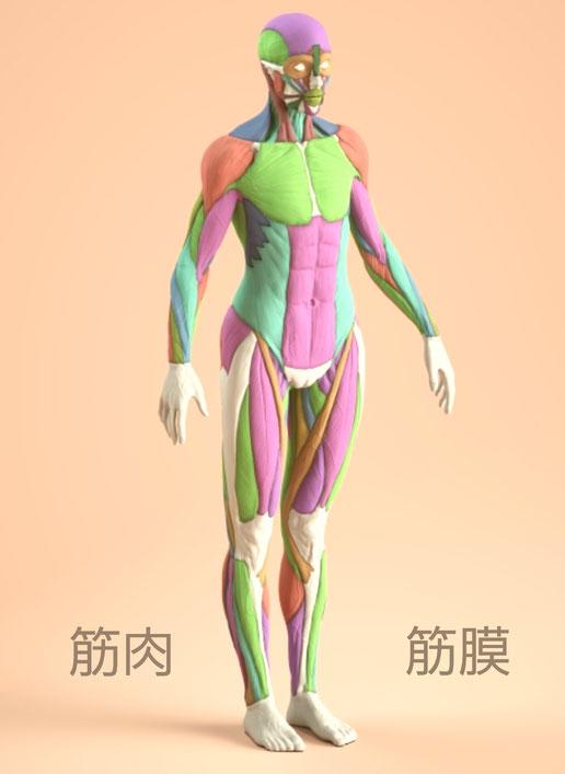筋肉筋膜の繋がり アナトミー 筋膜リリース 筋膜オイルセラピー
