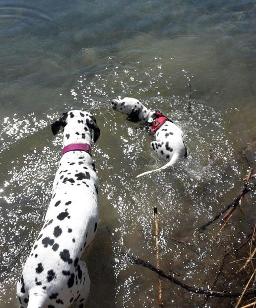 Just Bonny vom Furlbach mit Tante Cassiopeia vom Sayner Schloß beim Schwimmkurs ....05 Mai 2016