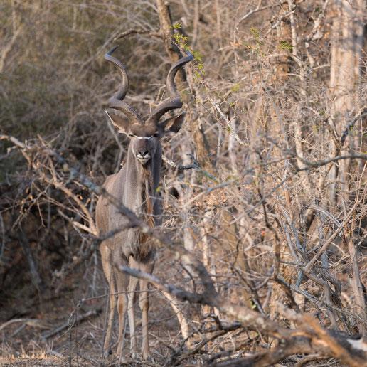 kudu | game drive | kapama private game reserve | südafrika