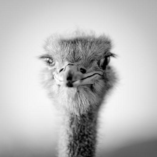 nikon d850 105mm f1.4 - portrait wildlifefotografie Strauß namibia